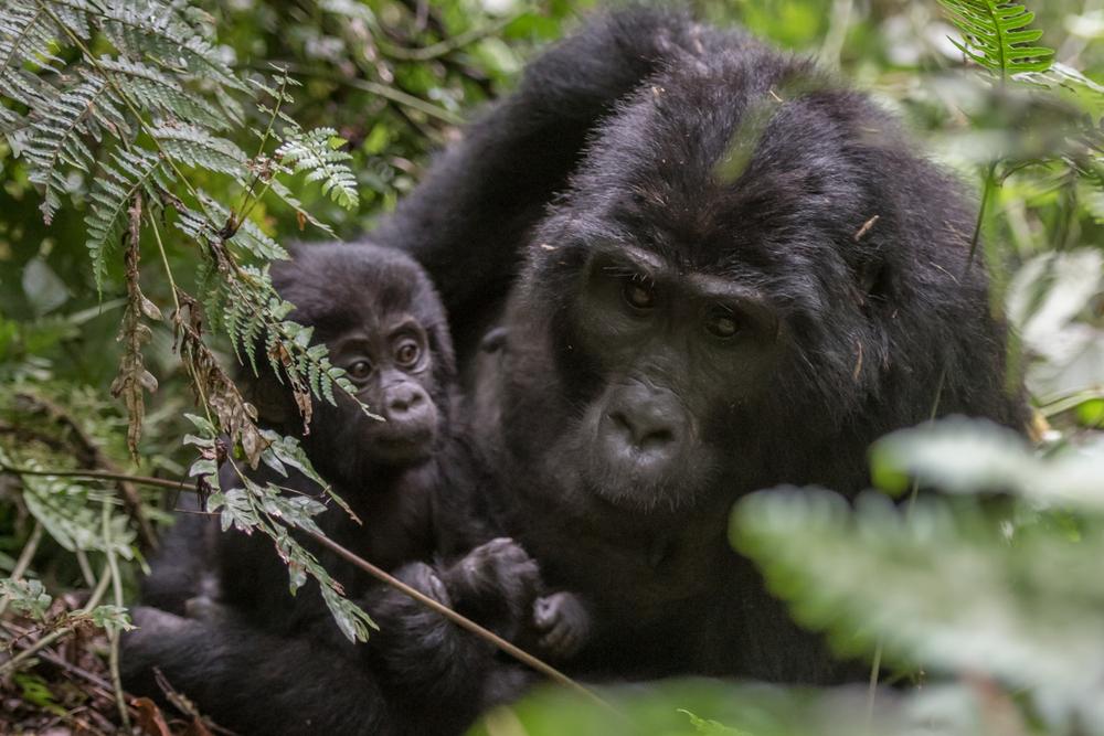 Mountain gorillas in the rainforest of Uganda